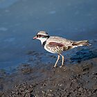 Black-fronted Dotterel by NaturesGuardian