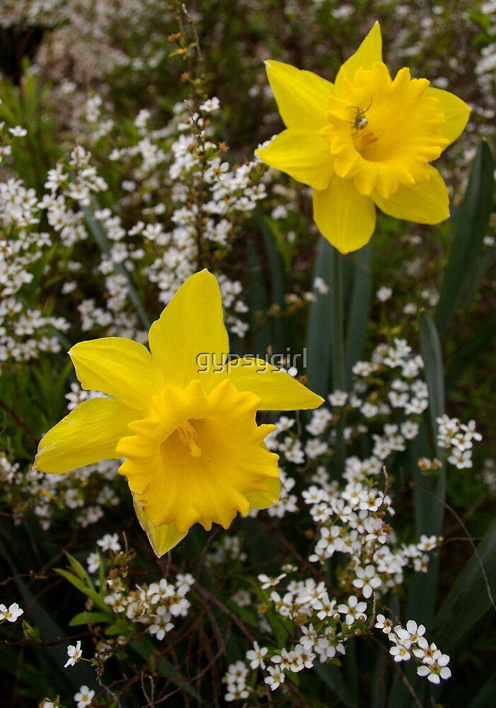 Daffodil I by gypsygirl