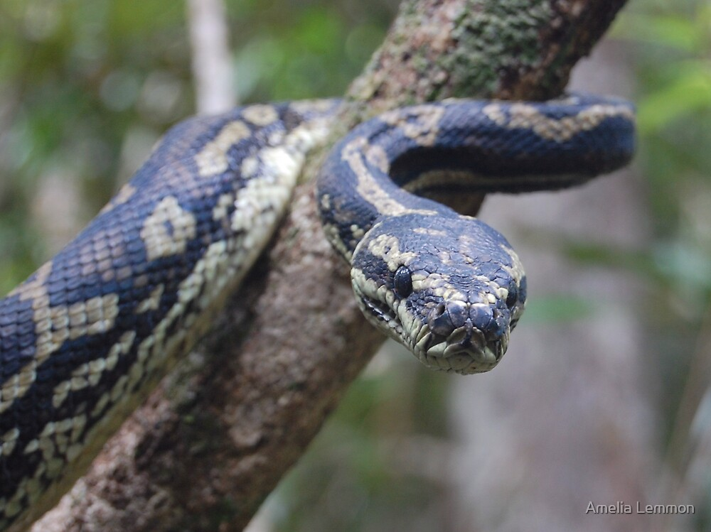 carpet python snake reptile by Amelia Lemmon