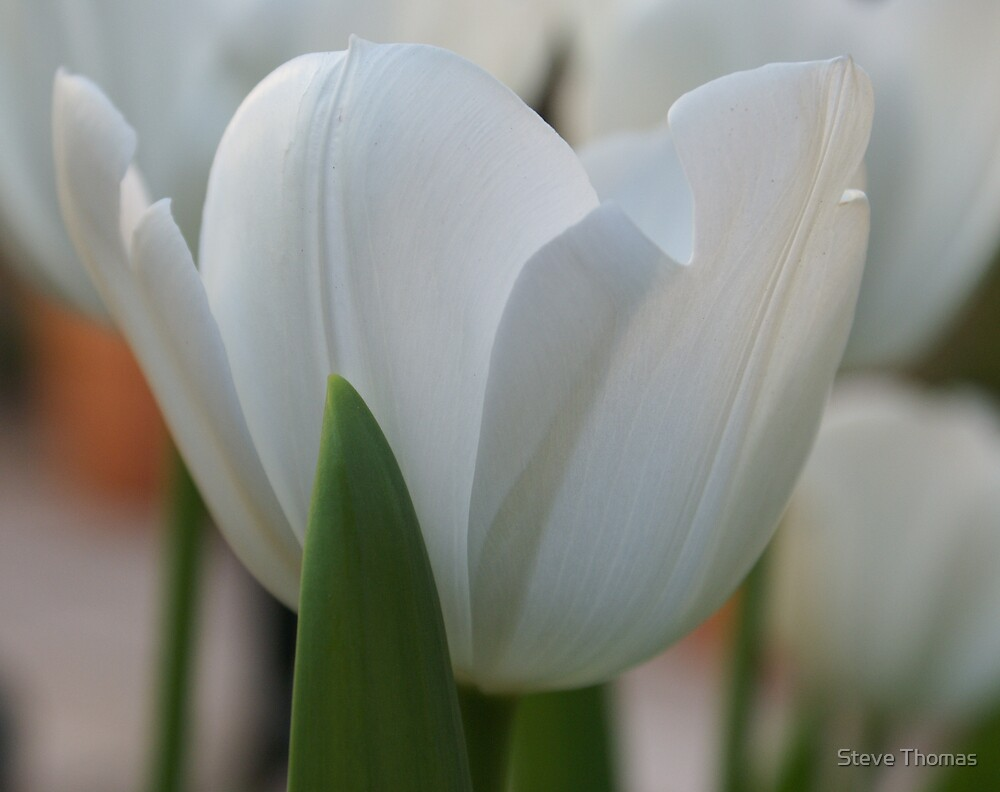 Purity by Steve Thomas