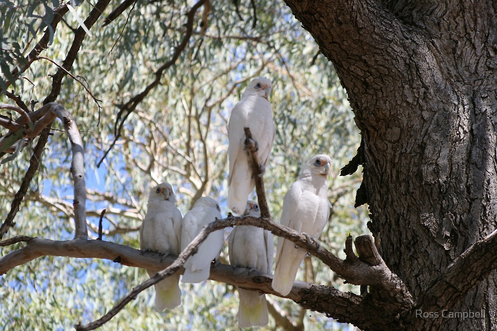 Five White Cockatoo's by Ross Campbell