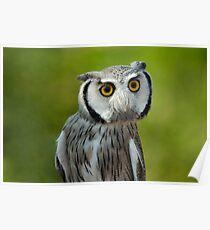 Northern white-faced owl - Ptilopsis leucotis Poster