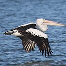 flying pelican by parko