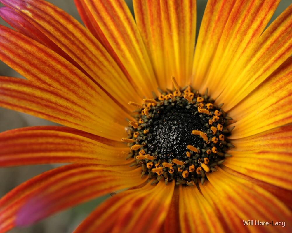 Daisy by Will Hore-Lacy