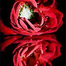 Red Rose by dedakota