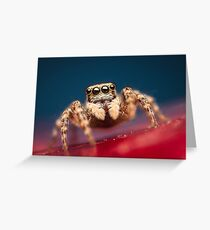 Pseudeuophrys erratica female jumping spider photo Greeting Card