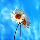 Simply Daisies by maiboo