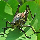 Lubber Grasshopper by Cynthia48