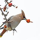 Waxwing by Alan Forder