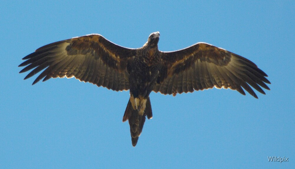 Quot Wedge Tailed Eagle In Flight Quot By Wildpix Redbubble