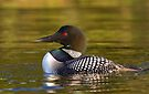 Evening Loon - Common Loon by Jim Cumming