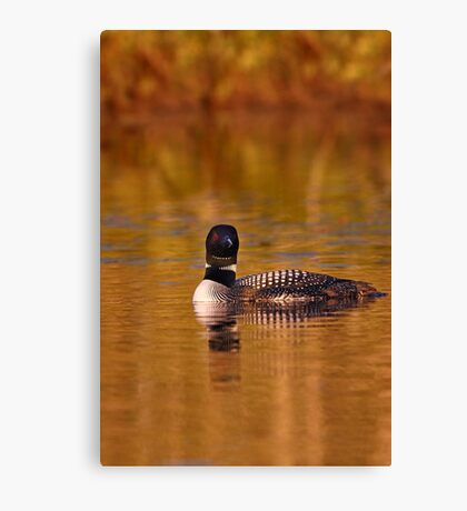 On Golden Pond - Common Loon Canvas Print