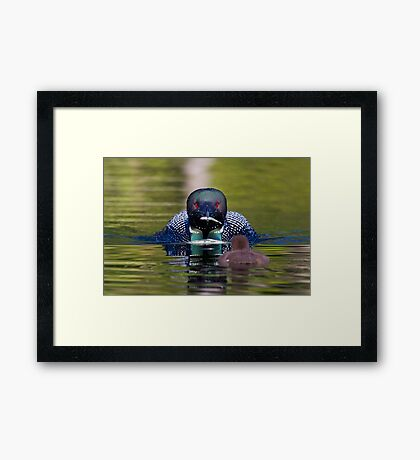 Take-out finally arrives - Common Loon - Buck Lake, Ontario Framed Print