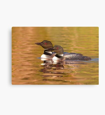 Taking a quick break - Common Loons Metal Print