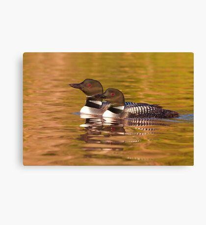 Taking a quick break - Common Loons Canvas Print