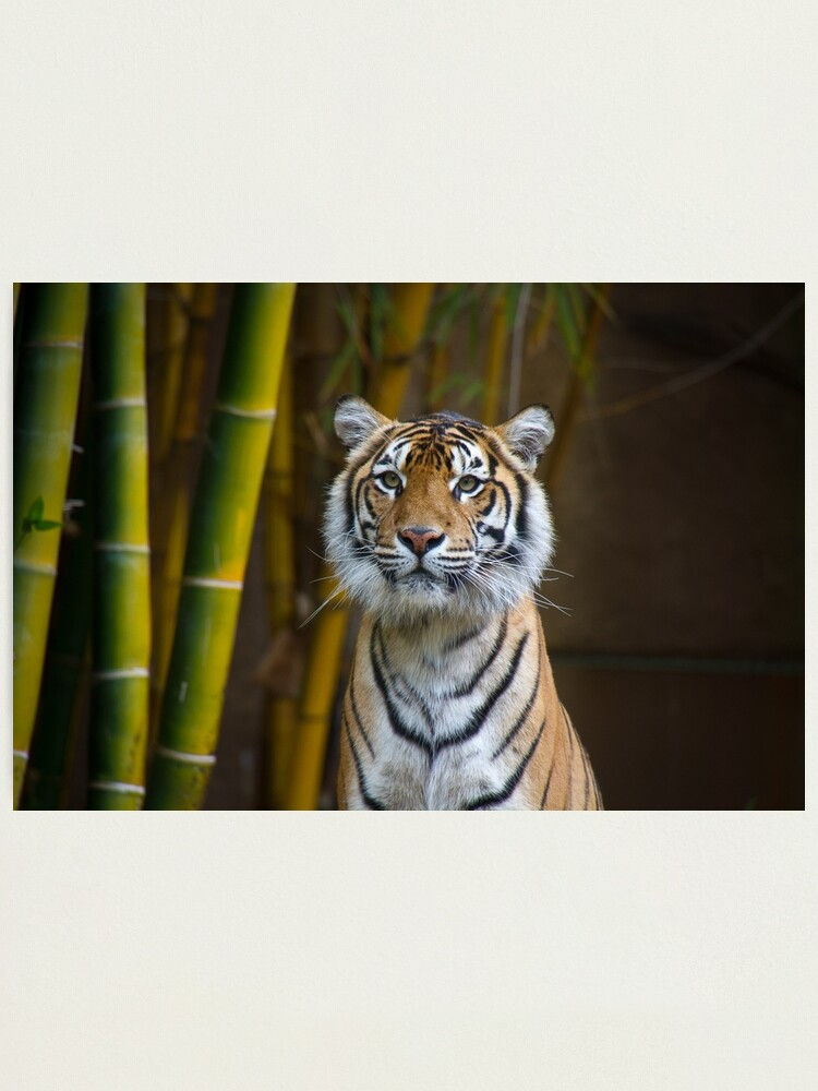 Alternate view of Tiger Photographic Print