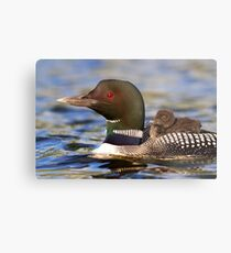 Common loon and chick Metal Print