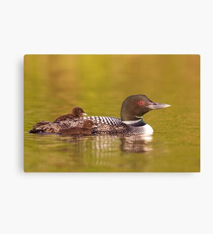 Common loon twins Canvas Print