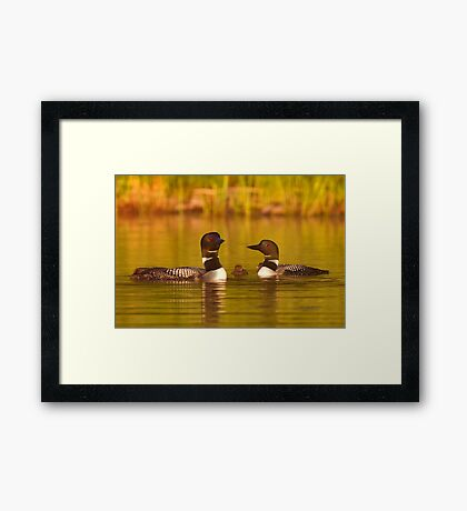 Common loon family portrait Framed Print