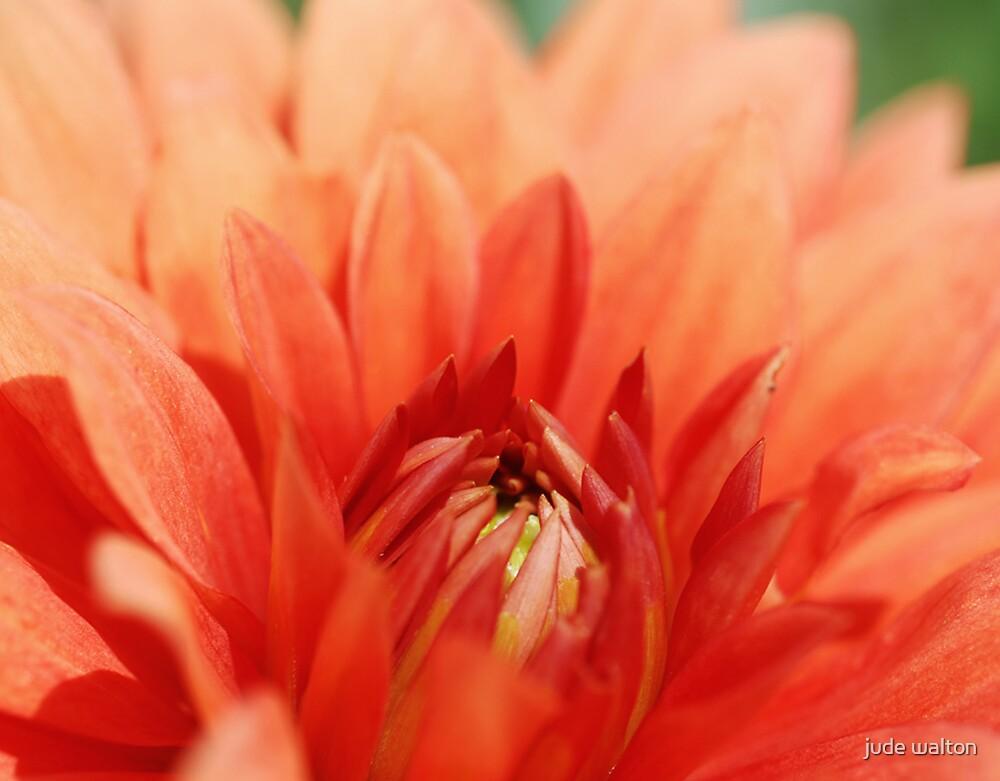 Orange Dahlia by jude walton