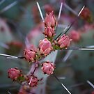 Pear cactus Buds by rrushton