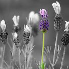 Lavender by Sharon Brown