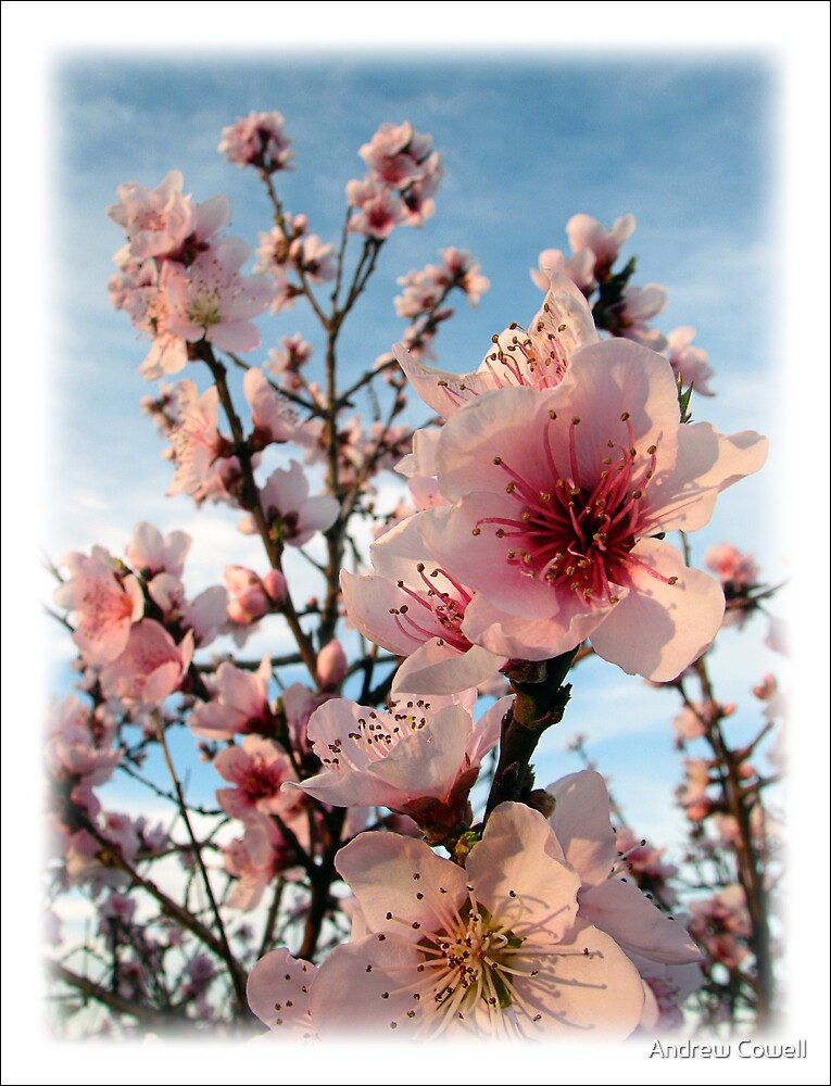 blossom by Andrew Cowell