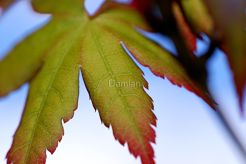 Maple Beginnings by Damian