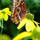 Resting Butterfly by Jonathan Cohen
