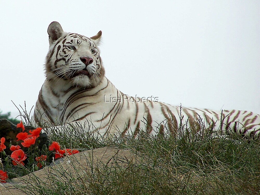 White Tiger & Poppies by LisaRoberts