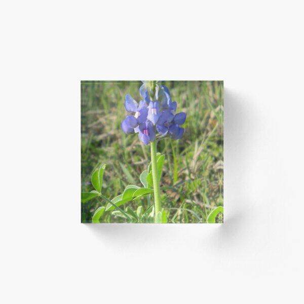 Young Bluebonnet - best viewed larger Acrylic Block