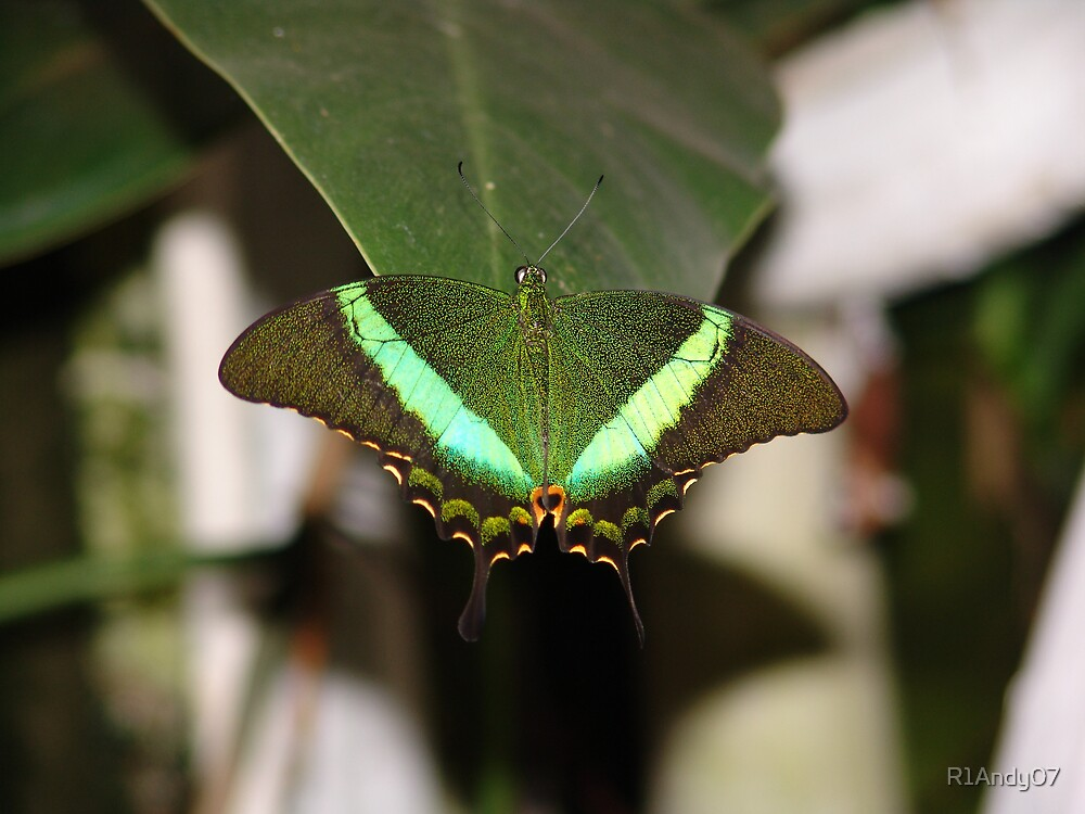 Butterfly by R1Andy07