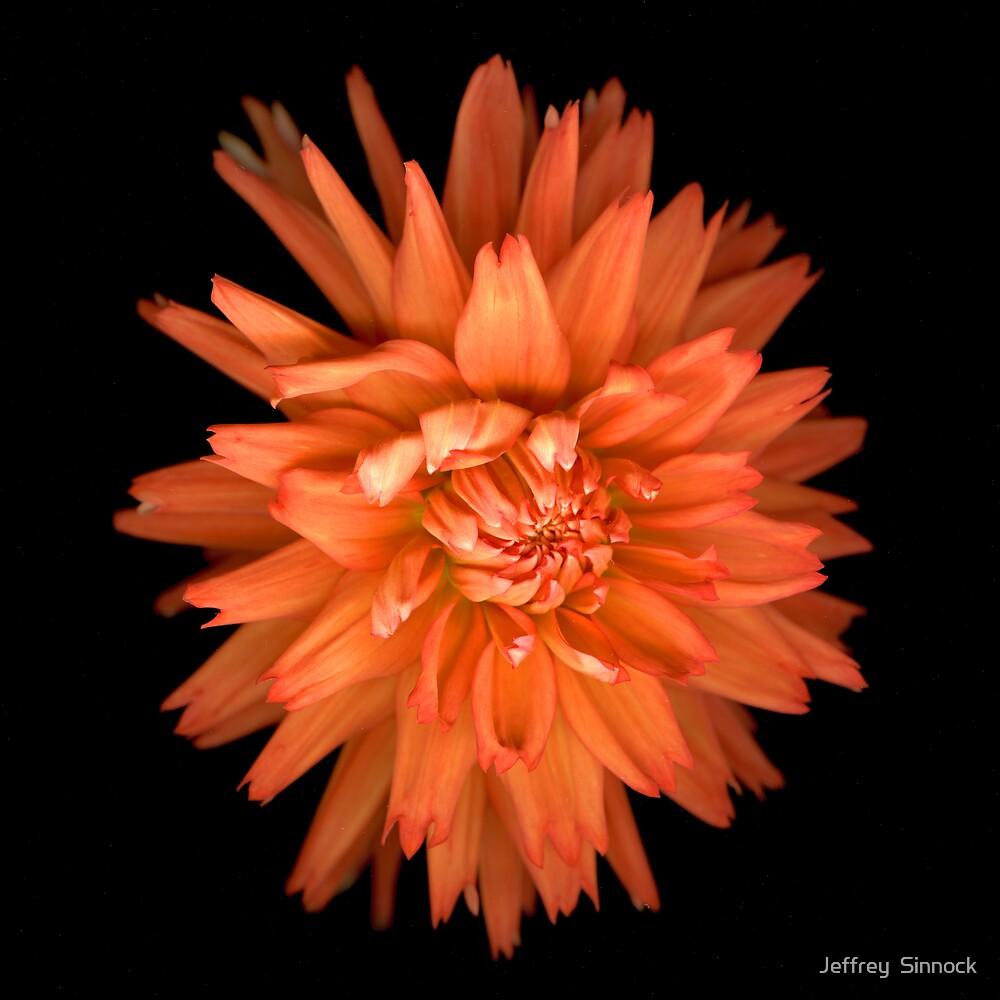 Orange Dahlia by Jeffrey  Sinnock