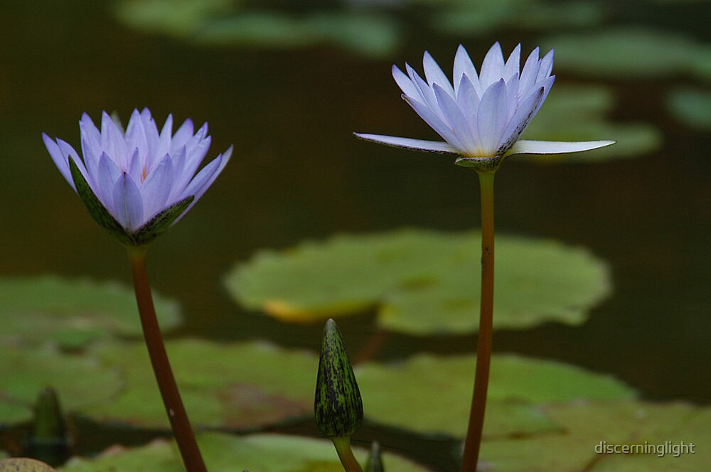 Lillies by discerninglight