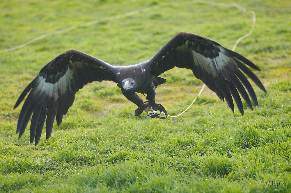 Wedge-Tailed Eagle in Flight (4) by Wildpix