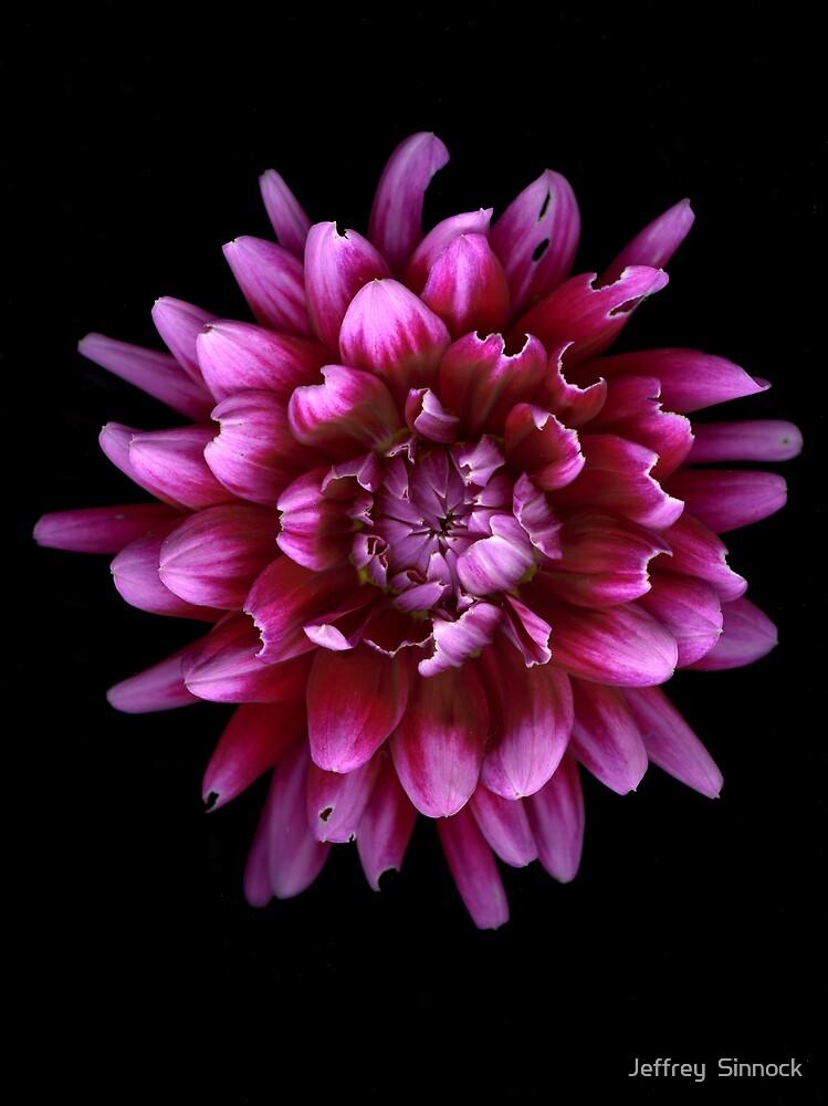 Chewed on pink Dhalia by Jeffrey  Sinnock