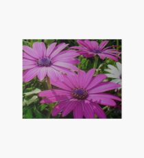 Purple And Pink Tropical Daisy Flower Art Board