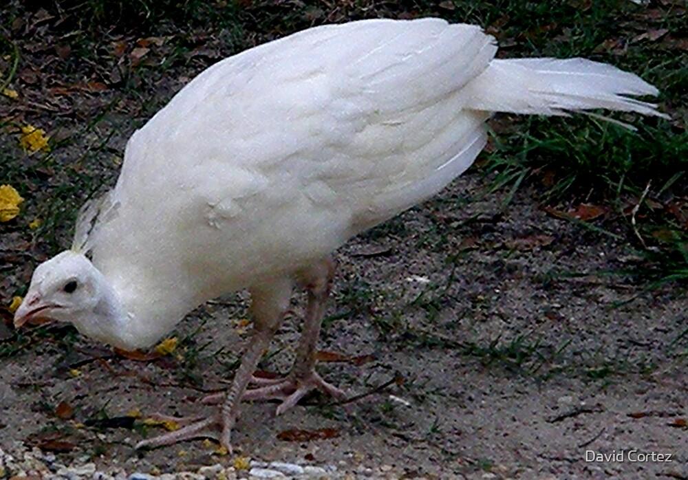 Albino Peacock by David Cortez