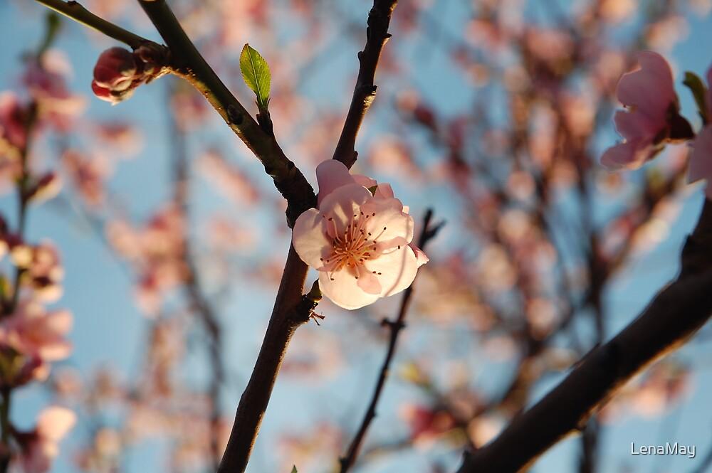 blossom by LenaMay
