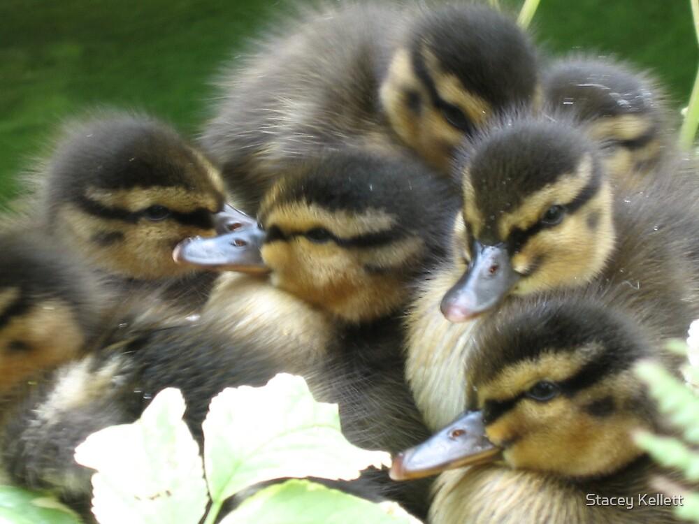 ducklings by Stacey Kellett
