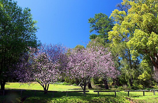 Two Pink Cherry Blossom Trees by EOS20
