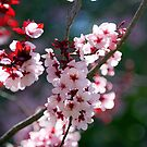 Pink Cherry Blossom Flowers by EOS20