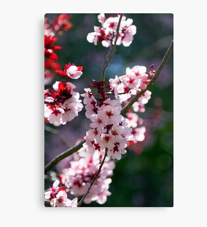 Pink Cherry Blossom Flowers Canvas Print