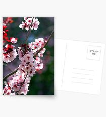 Pink Cherry Blossom Flowers Postcards