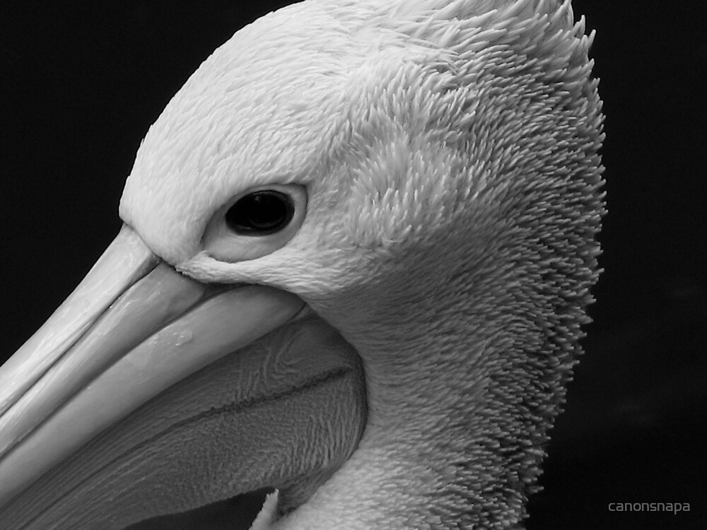 pelican by canonsnapa