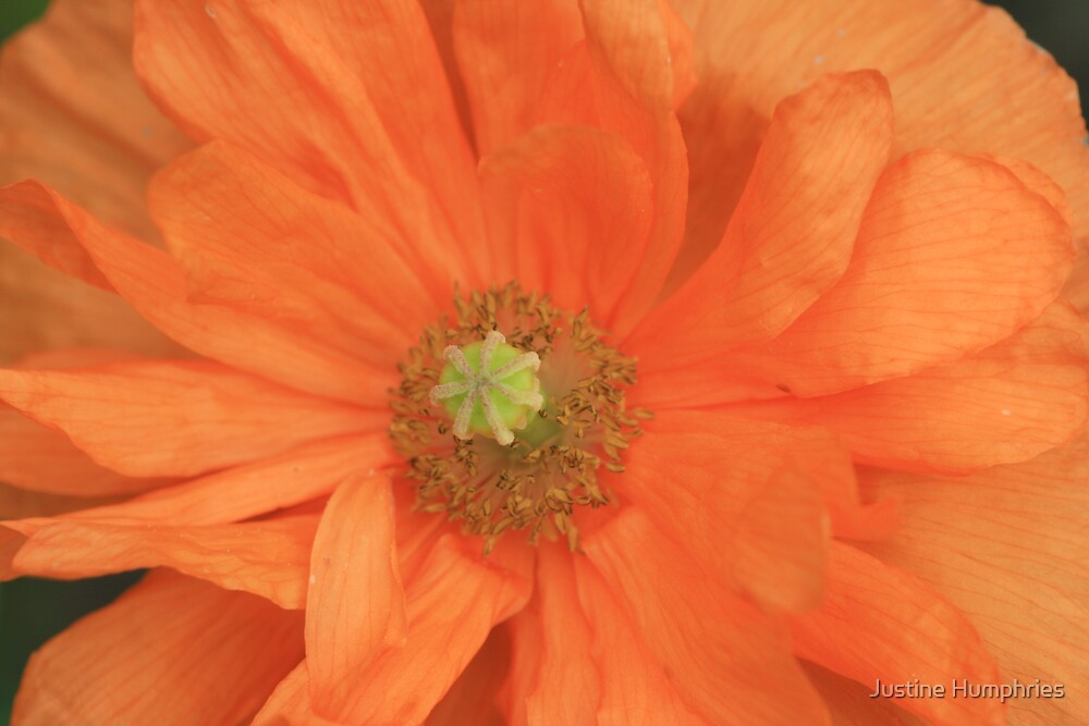 Peach Delight III by Justine Humphries