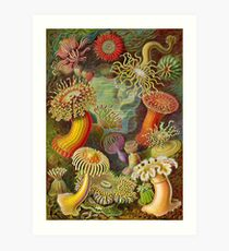 Sea anemone - Ernst Haeckel  Art Print