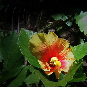 Lustrous Philippine Hibiscus by carlo