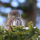 Portrait of Pygmy Owl by Remo Savisaar