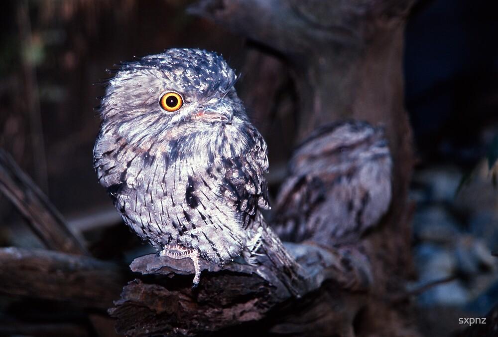 Tiny Tawny owl by sxpnz